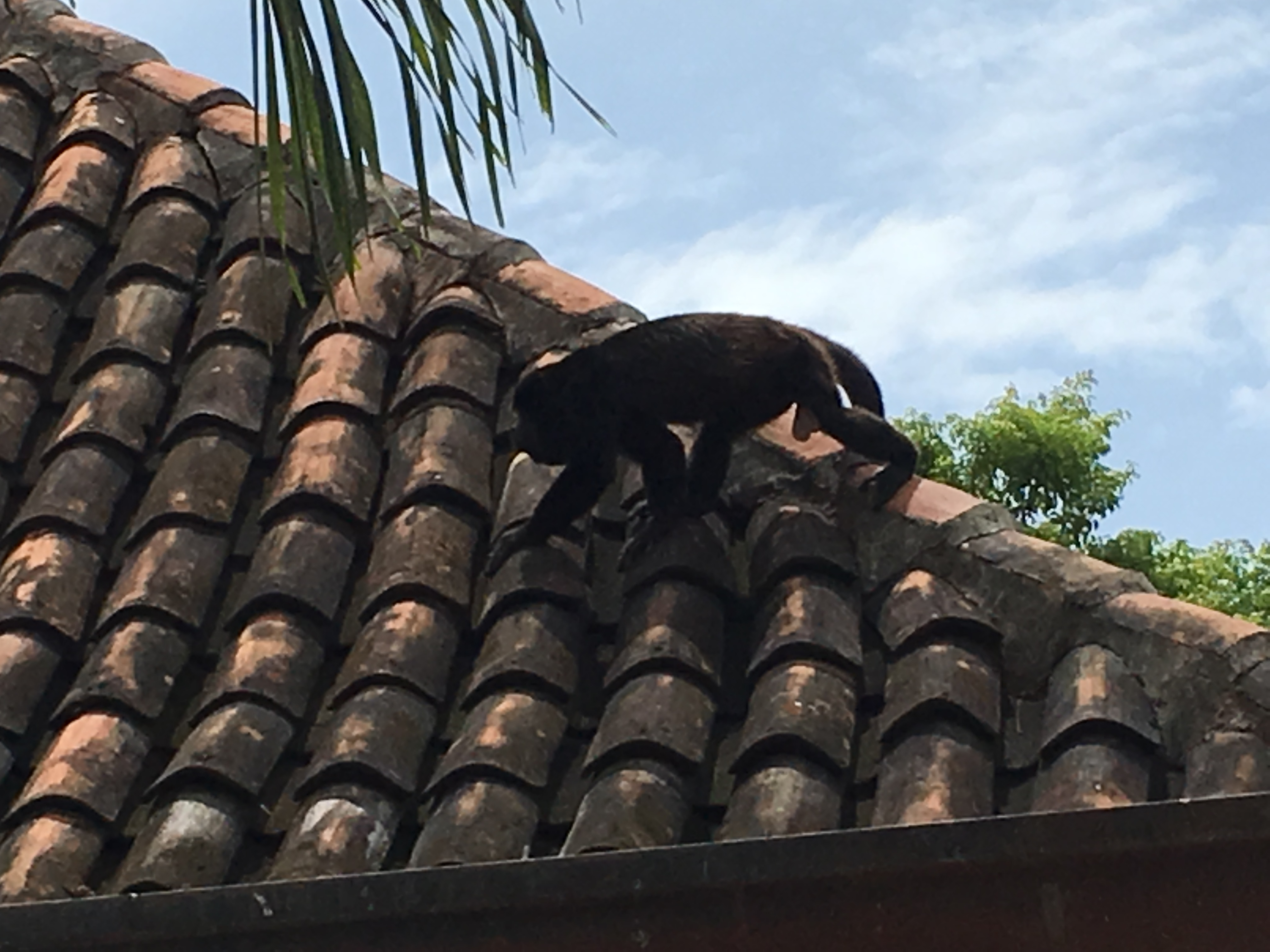 Howler monkey on a roof