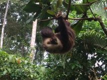 Sloth at the Jaguar Rescue Center